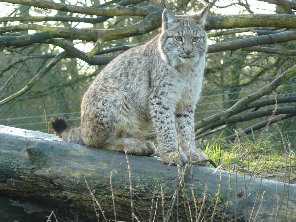 A BEAUTIFUL LYNX TAKING A REST